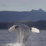 Whale Antics