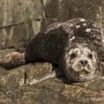 Sun-tanning Seal