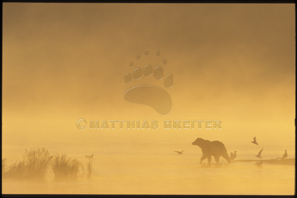 Grizzly in Morning Mist