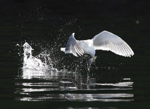 Seagull Catching Fish
