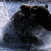 Bear Splash