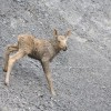Moose Calf on Mountain side