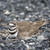 Plover on nest