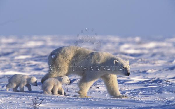 Polar Bear with Young Cub