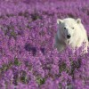 Young Polar Bear in Fireweed Bed