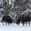Wild-Alaska-1395