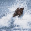 Grizzly Bear Splash