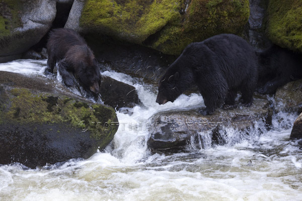 Black Bears Fishing at Anan Creek
